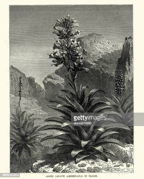 Aloes, Agave americana, in Bloom, 19th Century