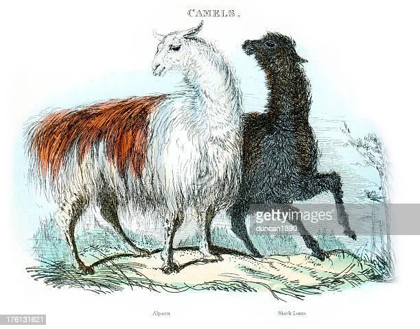 Alpaca y negro, arreo de Llama (Lama glama