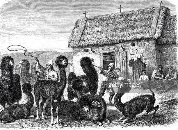 Rebaño de alpacas en la granja