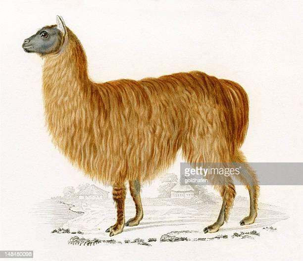 alpaca, histórico ilustración, 1849