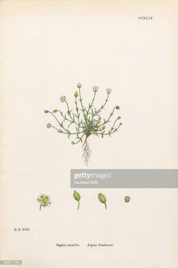 Alpine Pearlwort, Sagina saxatilis, Victorian Botanical Illustration, 1863 : stock illustration