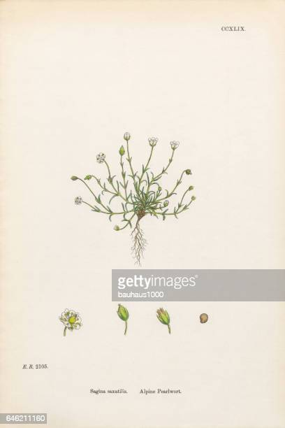alpine pearlwort, sagina saxatilis, victorian botanical illustration, 1863 - sandwort stock illustrations, clip art, cartoons, & icons