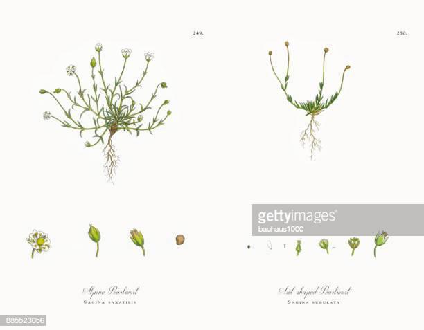 ilustrações, clipart, desenhos animados e ícones de pearlwort alpine, sagina saxatilis, ilustração botânica vitoriana, 1863 - chickweed