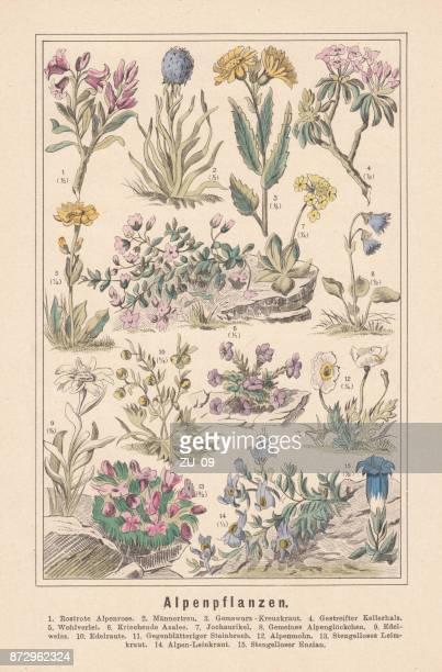 Alpine plants, hand-colored lithograph, published in 1890