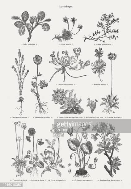bildbanksillustrationer, clip art samt tecknat material och ikoner med alpina växter, trägravyrer, publicerade 1893 - jasmin