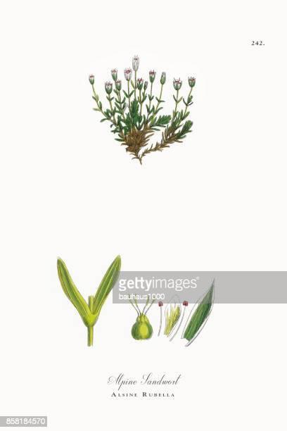 ilustrações, clipart, desenhos animados e ícones de sandwort alpino, alsine rubéola, ilustração botânica vitoriana, 1863 - chickweed