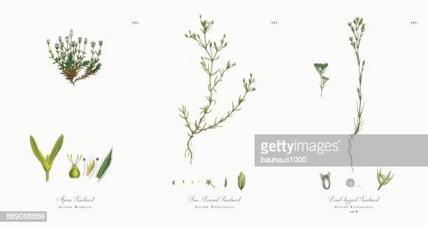 alpine sandwort, alsine rubella, victorian botanical illustration, 1863 - sandwort stock illustrations, clip art, cartoons, & icons