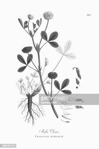 alsike clover, trifolium hybridum, victorian botanical illustration, 1863 - plant bulb stock illustrations