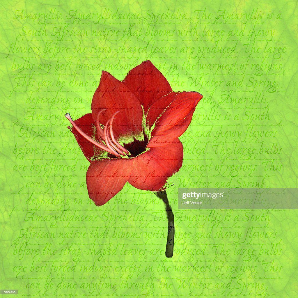 Amaryllis on Descriptive Background : Stock Illustration