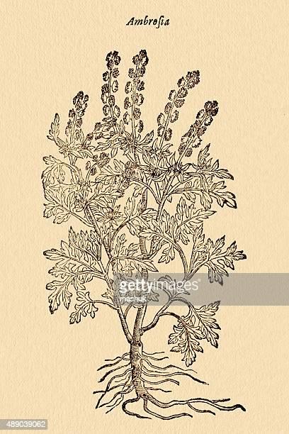 ambrosia weed plant , 17 century botanical illustration - ragweed stock illustrations, clip art, cartoons, & icons