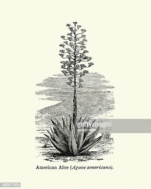 American aloe Agave americana