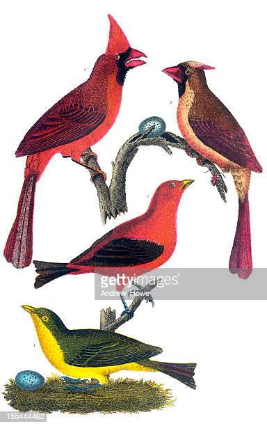 American Bird Engravings
