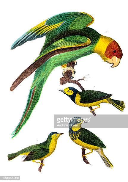 american bird engravings - parrot stock illustrations, clip art, cartoons, & icons