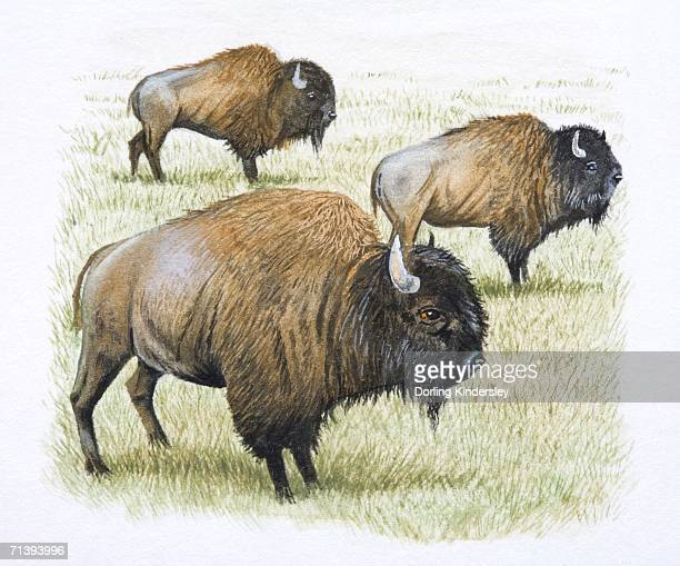 American Bison, Bison biso, side view.