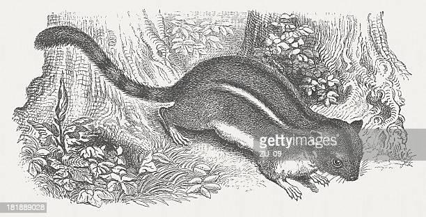 american chipmunk (tamias), wood engraving, published in 1875 - chipmunk stock illustrations
