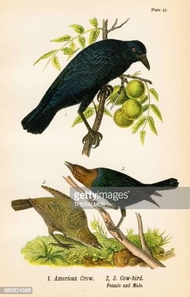 ilustraciones, imágenes clip art, dibujos animados e iconos de stock de cuervo americano pájaro litografia 1890 - cuervo