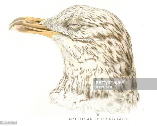 American herring gull lithograph 1897