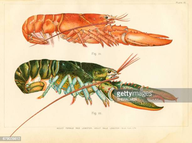 American lobster lithograph 1895
