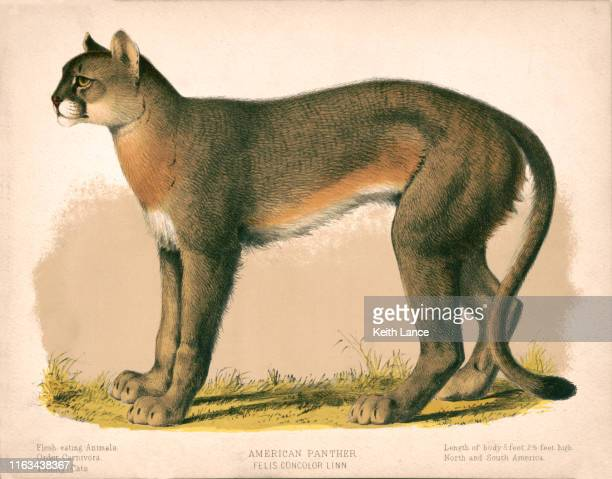 american panther - mammal stock illustrations