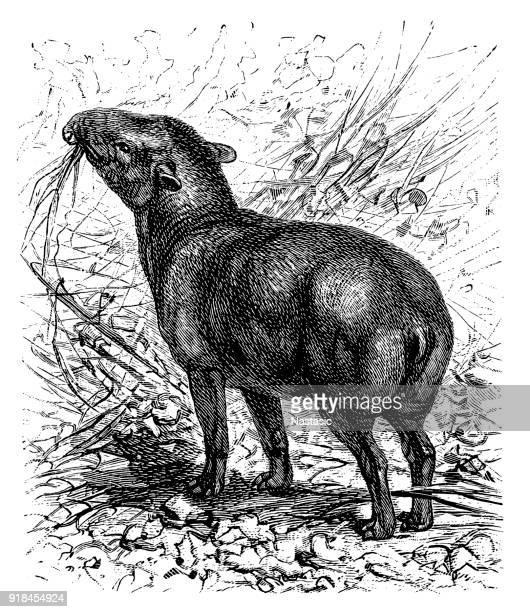 American tapir (Tapirus americanus)