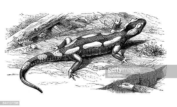 233 Iillustrations Cliparts Dessins Animes Et Icones De Salamandre Getty Images