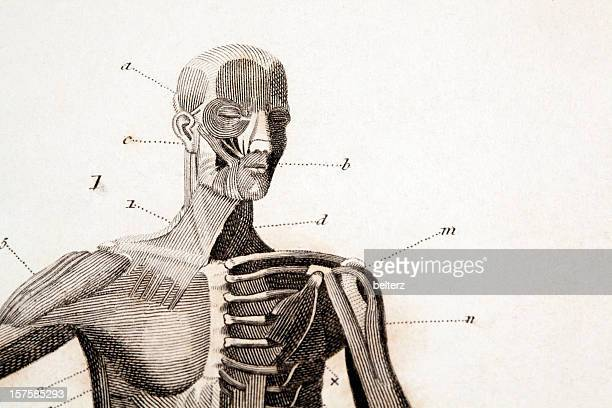 an anatomy engraving with letter and number labels - male likeness stock illustrations