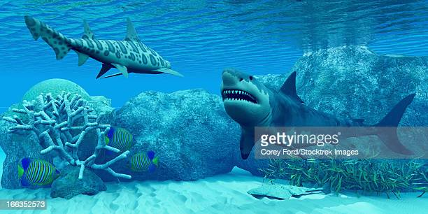 ilustraciones, imágenes clip art, dibujos animados e iconos de stock de an angel shark flattens itself against the sandy bottom and three royal angelfish try to hide near some coral as a great white shark meets with a leopard shark. - biodiversidad