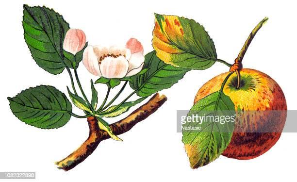 ilustraciones, imágenes clip art, dibujos animados e iconos de stock de una manzana (pirus malus) es un fruto dulce y comestible producido por un árbol de manzana (malus pumila) - manzano