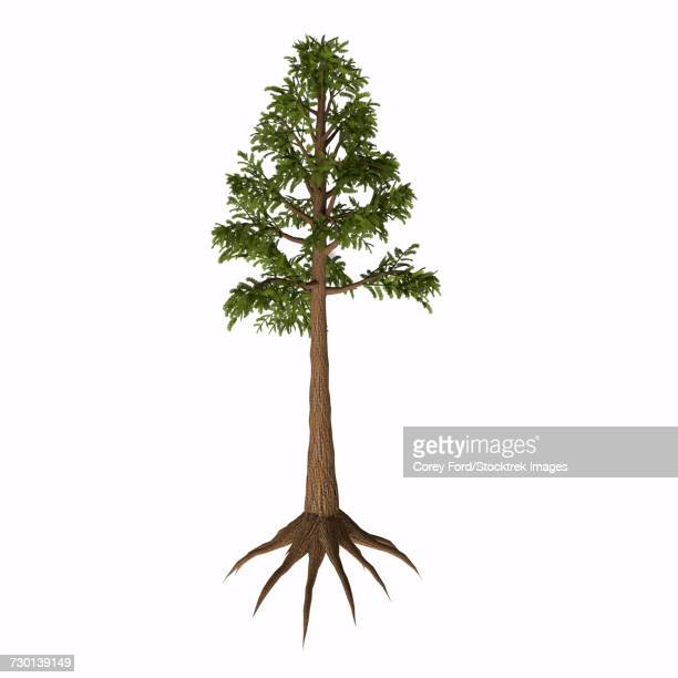 An Archaeopteris tree-like plant from the Paleozoic Era.