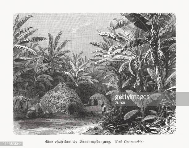 an east african banana plantation, wood engraving, published in 1897 - banana tree stock illustrations