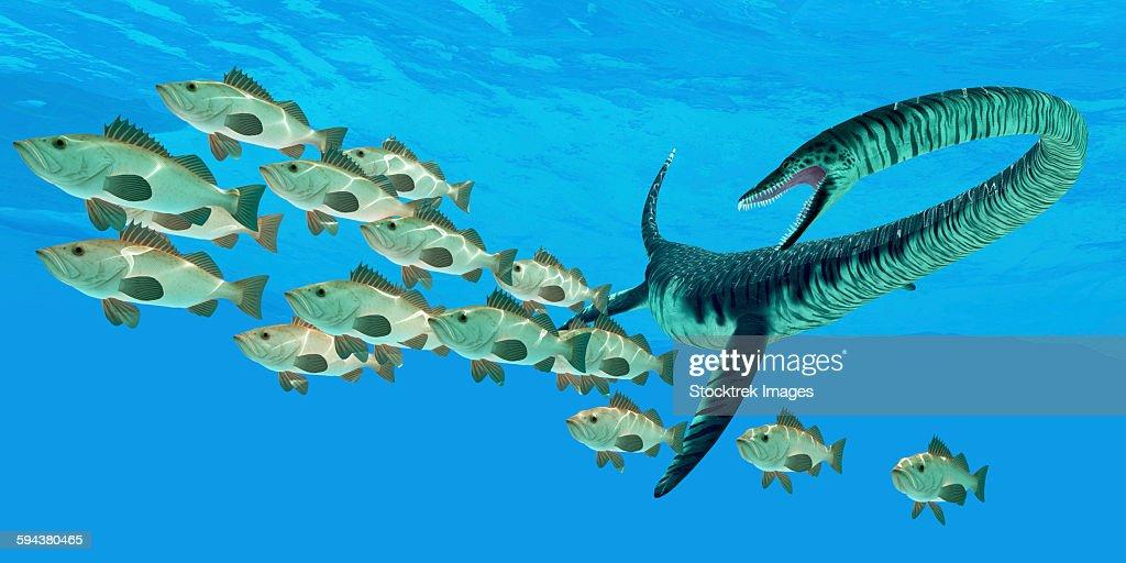 An Elasmosaurus marine reptile hunts a school of bocaccio fish in Cretaceous seas. : Ilustración de stock