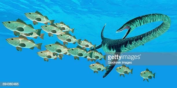 An Elasmosaurus marine reptile hunts a school of bocaccio fish in Cretaceous seas.