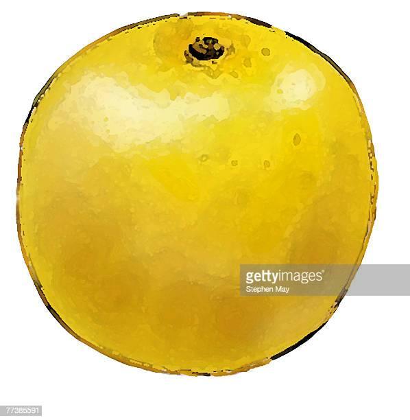 ilustraciones, imágenes clip art, dibujos animados e iconos de stock de an illustration of a grapefruit - pomelo rosa
