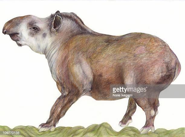 An illustration of a Tapir