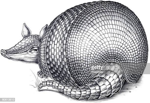An illustration of an armadillo