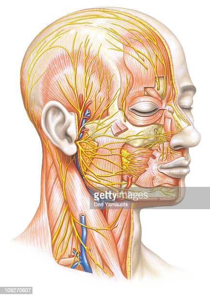 an illustration of the muscles and ligaments in a human face - anatomical model stock illustrations, clip art, cartoons, & icons