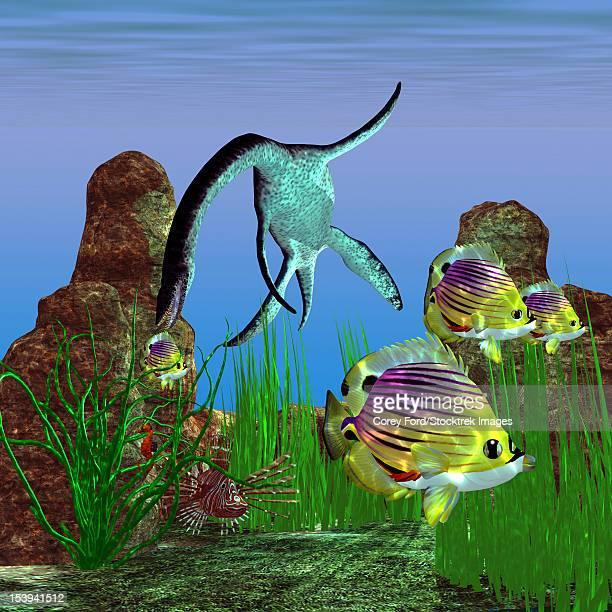 ilustraciones, imágenes clip art, dibujos animados e iconos de stock de an unlucky redfin angelfish tries to swim out of the reach of a plesiosaurus dinosaur in the jurassic age. - plesiosaurio