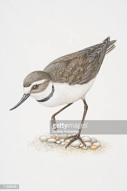 ilustrações, clipart, desenhos animados e ícones de anarhynchus frontalis, wrybill de pé sobre uma perna. - organismo aquático