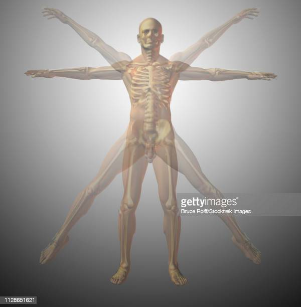 anatomical vitruvian man. x-ray. 3d rendering - anatomical model stock illustrations, clip art, cartoons, & icons