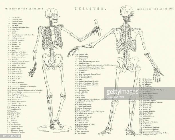 解剖学、人間の骨格の図、19世紀 - 人体図点のイラスト素材/クリップアート素材/マンガ素材/アイコン素材