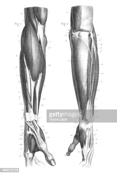 anatomy engraving 1866 - forearm stock illustrations, clip art, cartoons, & icons