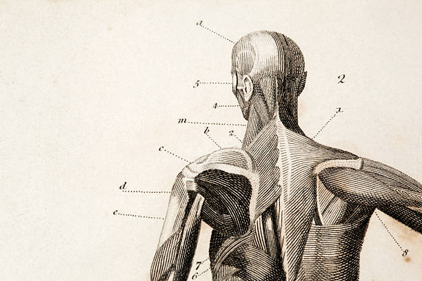 anatomy engraving - human body part stock illustrations