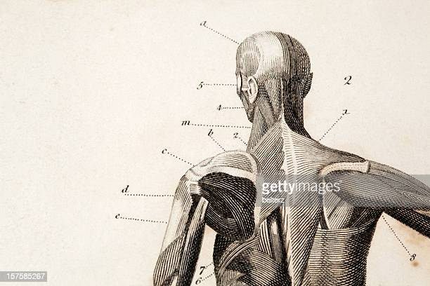 anatomy engraving - the human body stock illustrations