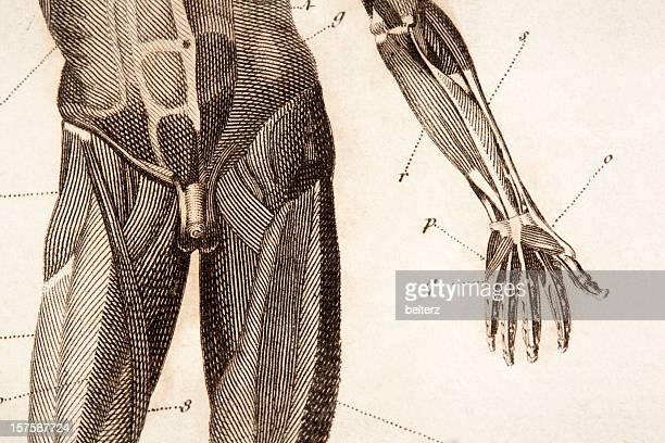 anatomie-gravur - hodensack stock-grafiken, -clipart, -cartoons und -symbole