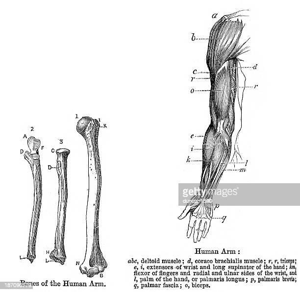 anatomy - human arm - human muscle stock illustrations