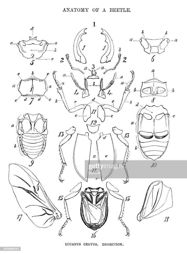Anatomy Of A Beetle Stock Illustration | Getty Images