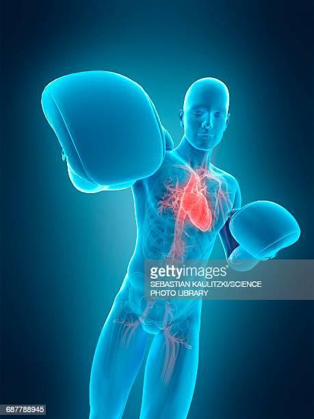 anatomy of a boxer, illustration - human heart beating stock illustrations