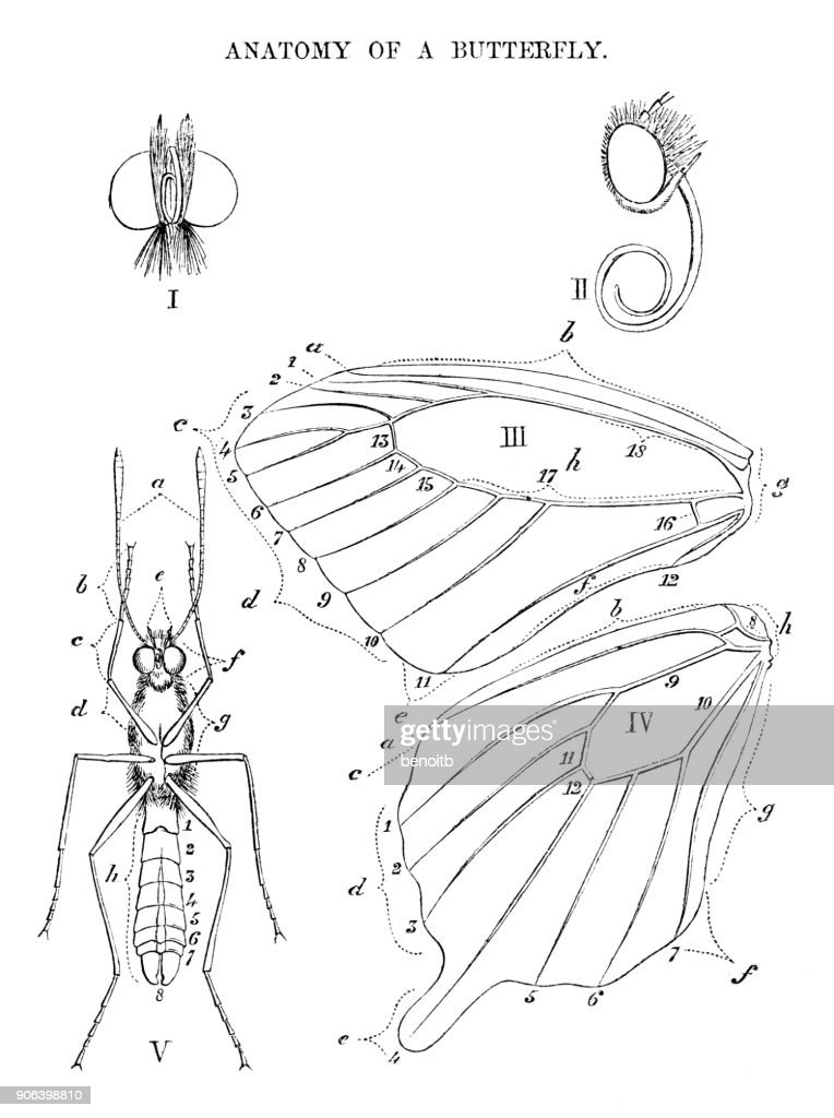 Anatomy Of A Butterfly Stock Illustration | Getty Images