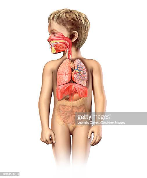 anatomy of a child's full respiratory system, including mouth and nasal cross section. other internal organs appear in half tone. - nasal passage stock illustrations