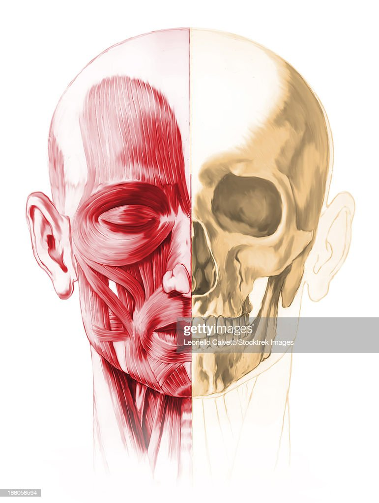 Anatomy Of A Male Human Head With Half Muscles And Half Skull Front